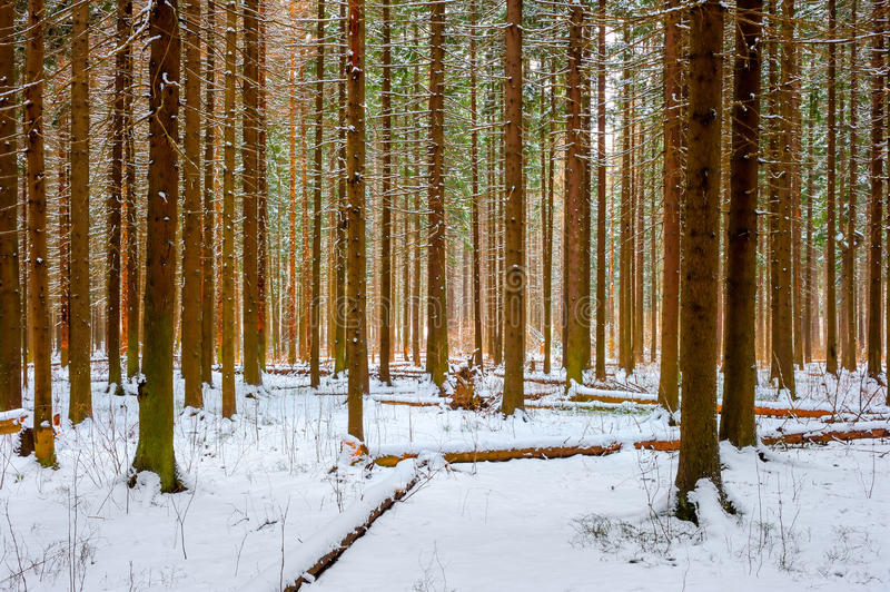 Shot thick spruce winter royalty free stock photos