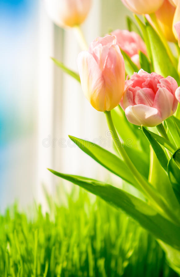 Download Shot Of Tulips On Windowsill Against Blue Sky Stock Photo - Image: 38906326