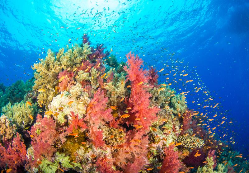 Multi coloured Egyptian coral reef royalty free stock photo