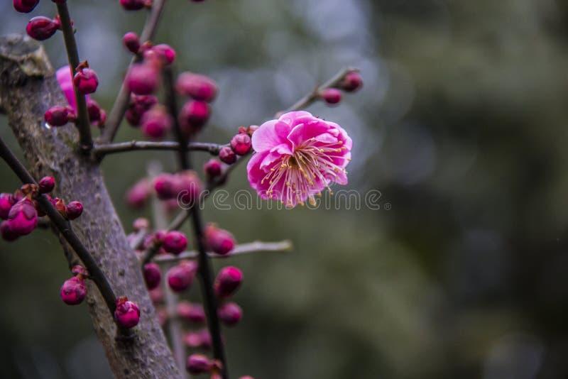 plum blossom royalty free stock photo