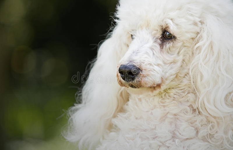 Shot of a White Miniature Poodle. In the Garden stock image