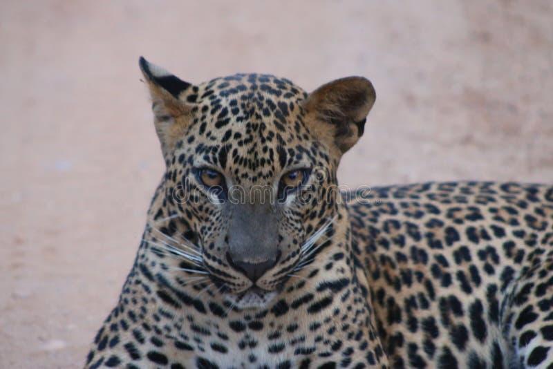 Sri Lankan Leopard stock image