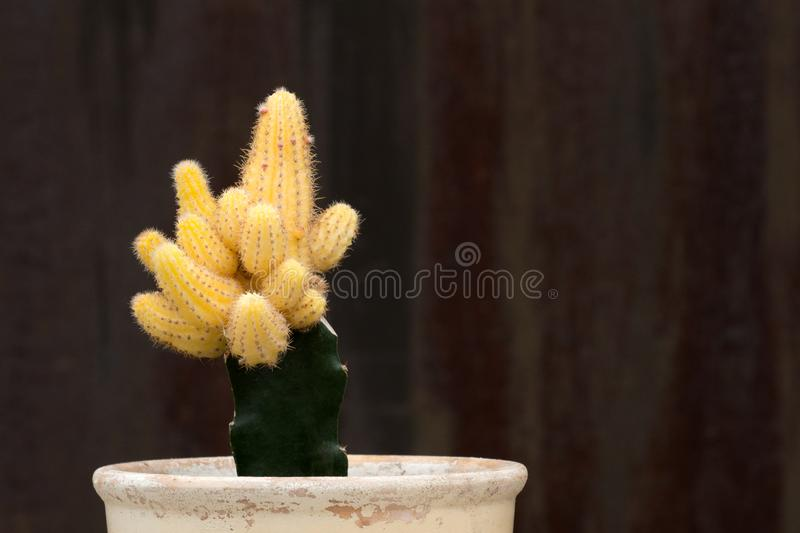 A shot of yellow cactus in a ceramic pot on a dark brown textural background royalty free stock photography