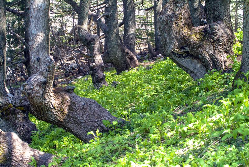 Shouf生物圈储备山的雪松森林,黎巴嫩 库存图片