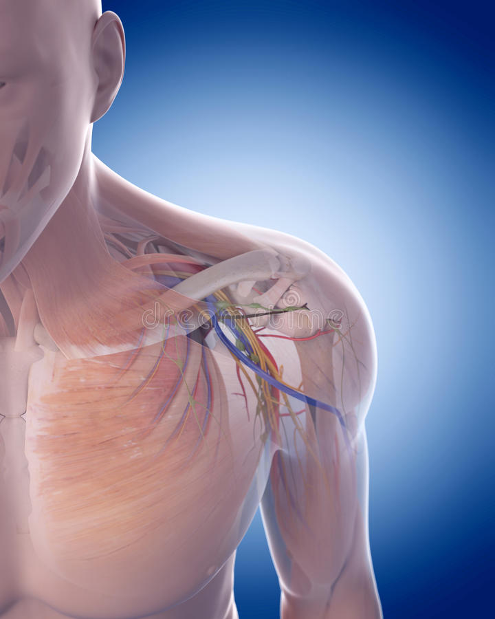 The shoulder anatomy vector illustration