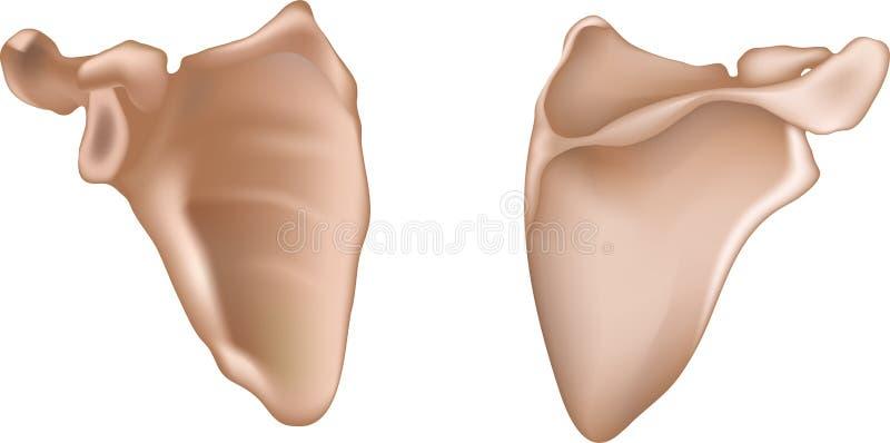 Download Shoulder blade stock vector. Illustration of latin, anatomical - 31407980