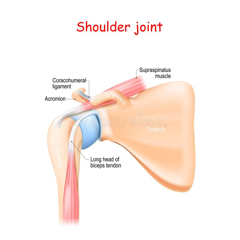 Free Shoulder Joint Anatomy Royalty Free Stock Photos - 163881458