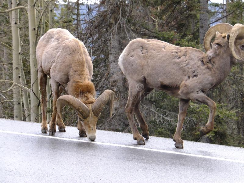 On the Shoulder. Majestic bighorn sheep in the Rocky Mountains of Colorado walking along, licking the salt off the highway between Silverton and Ouray royalty free stock photo