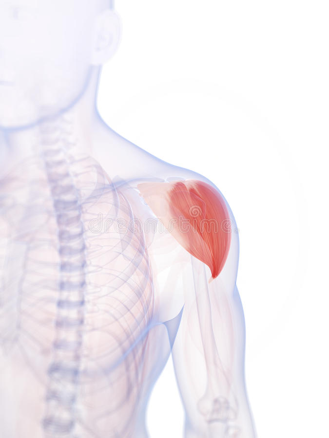 Download The shoulder muscle stock illustration. Image of musculature - 34165730