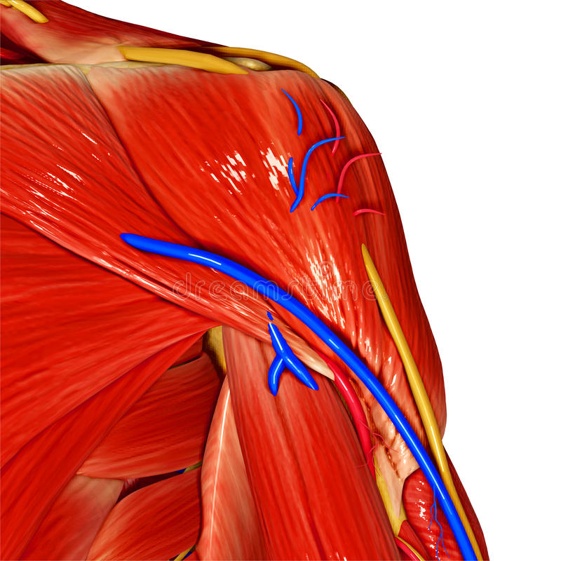 Shoulder Muscles stock illustration
