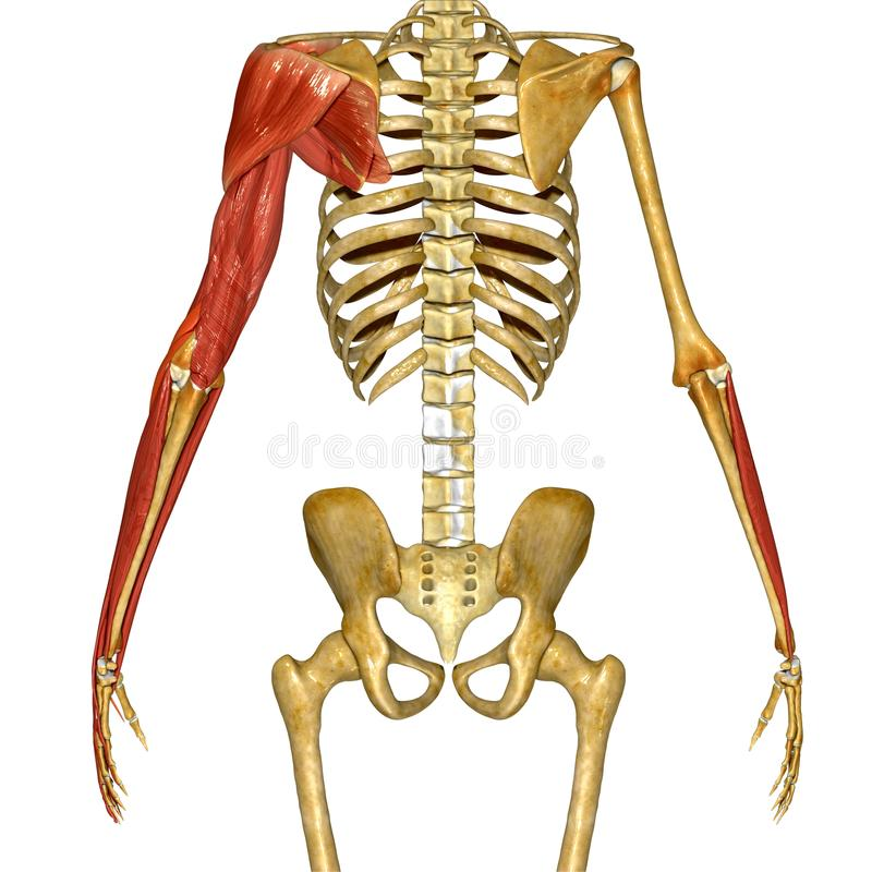 Shoulder Muscles Stock Illustration Illustration Of Body 55592699