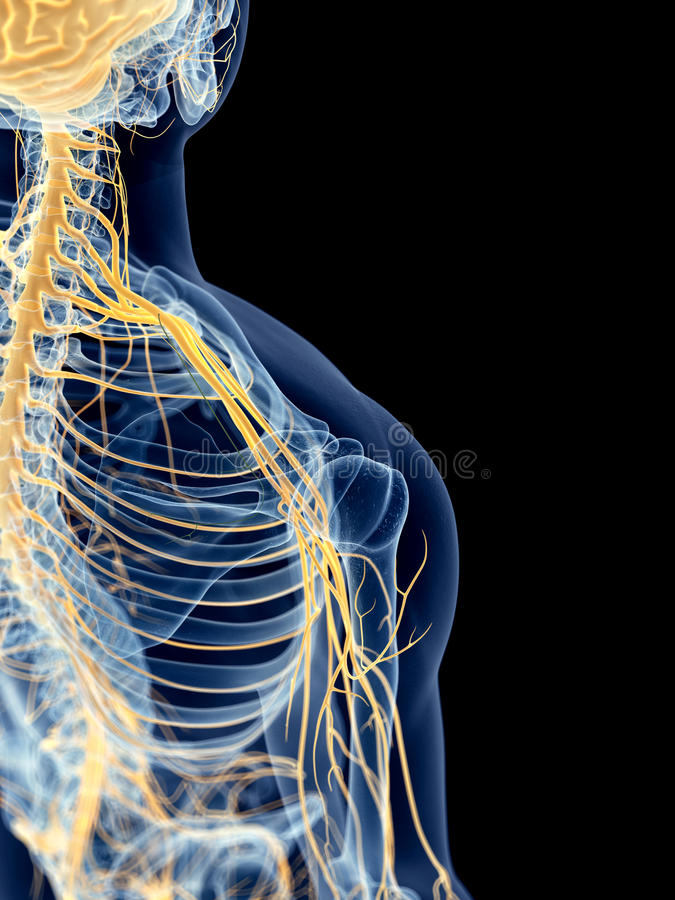The shoulder nerves stock illustration. Illustration of anatomy ...