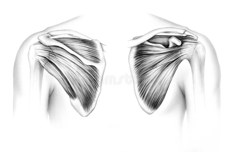 Shoulder - Scapula Tendons and Muscles. Scapula - Tendons. Human scapula tendons and muscles, front right and back left. Shown are the supraspinatus tendon and royalty free illustration