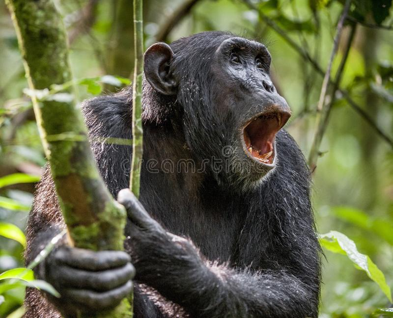 Shouting a Angry Chimpanzee. The chimpanzee (Pan troglodytes) shouts in rain forest, giving signs to the relatives. Uganda. Africa stock photos