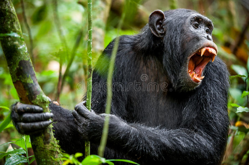 Shouting a Angry Chimpanzee. The chimpanzee (Pan troglodytes) shouts in rain forest, giving signs to the relatives royalty free stock image
