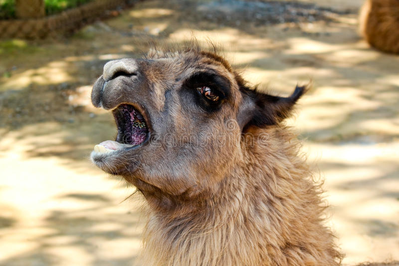 Download Shouting Llama Stock Photo - Image: 32221080