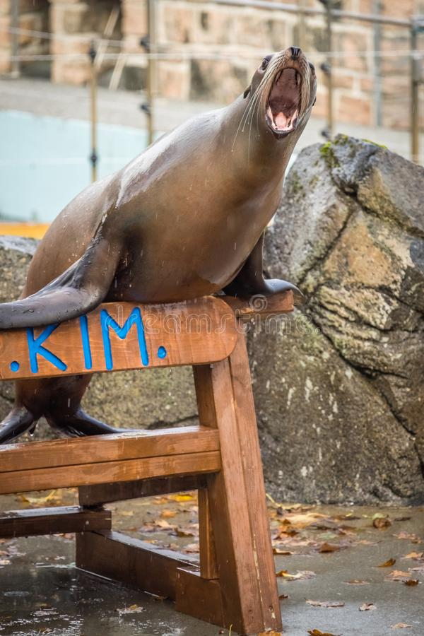 Shouting seal during show. Large seal shouting loudly during the show in Bergen Aquarium, Norway stock photo