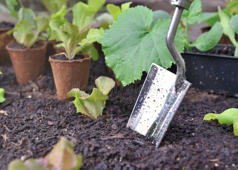 Shovel planting in wet soil among leaf of vegetable plants. Shovel covered with drops planting in wet soil among leaf of vegetable plants royalty free stock photography