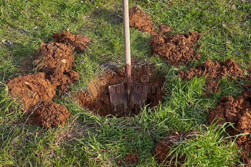 Shovel digs a hole for tree planting. stock photos