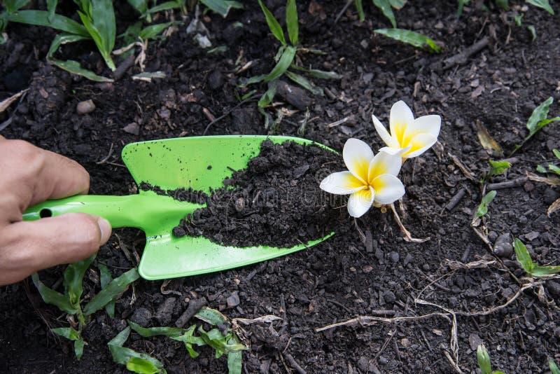Shovel spoons digging soil and Plumeria. Flower stock image