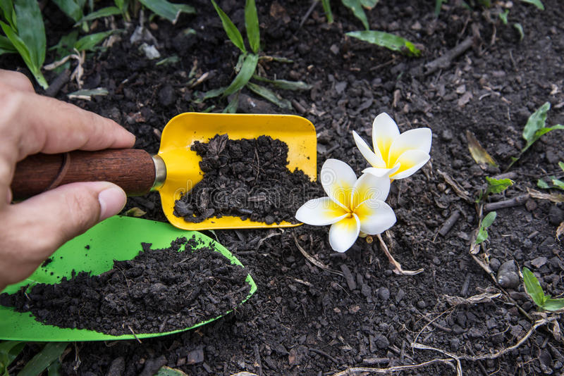 Shovel spoons digging soil and Plumeria. Flower royalty free stock photo