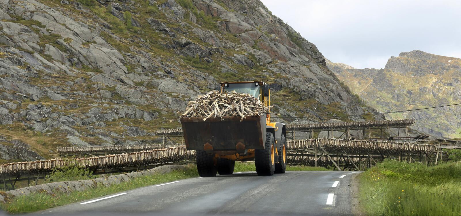 Shovel with stockfish on Lofoten Norway. Shovel with stockfish drying cod on racks in the background stock image