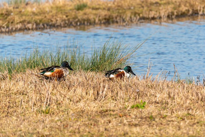 Shoveler & x28;Anas clypeata& x29; coming in for landing, in the UK royalty free stock photography
