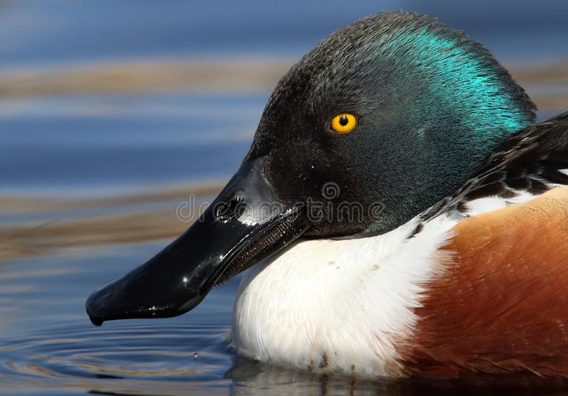 Shoveler Duck. A Shoveler duck head shot showing the large shovel shaped bill with the bristles that it uses to filter out its food. Taken at Moors Valley stock image