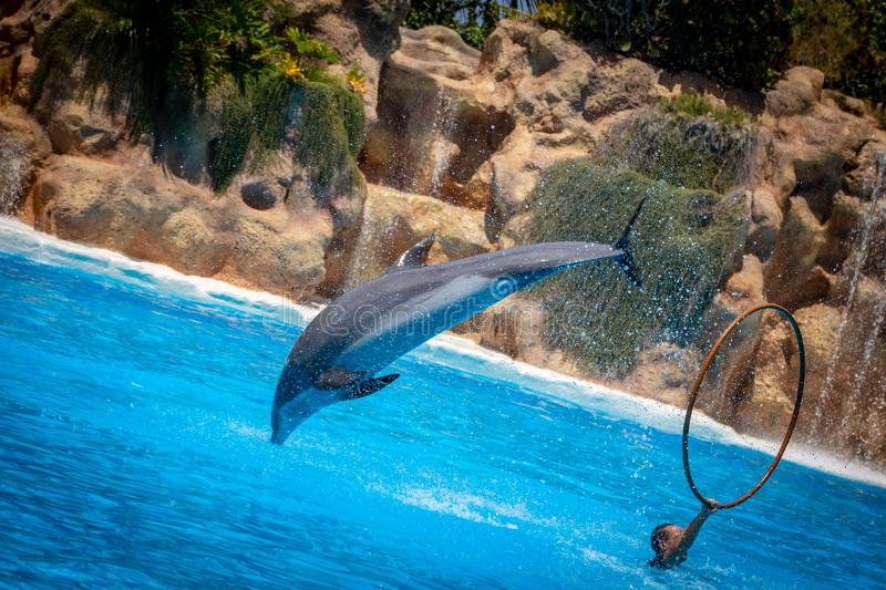 Dolphin. Show of beautiful dolphin jumps in zoo pool royalty free stock image