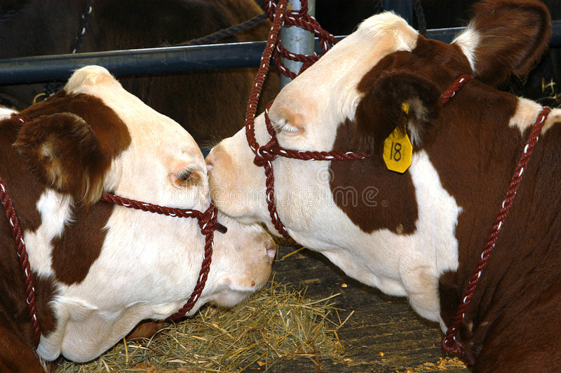 Download Show Cows stock photo. Image of critters, bovine, cows, beef - 12096
