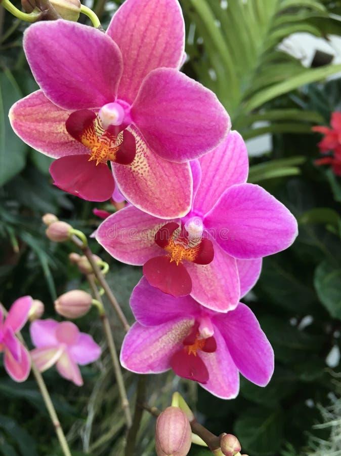 Show för Missouri botanisk trädgårdorkidé royaltyfria bilder