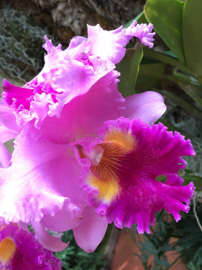 Show för Missouri botanisk trädgårdorkidé royaltyfri foto