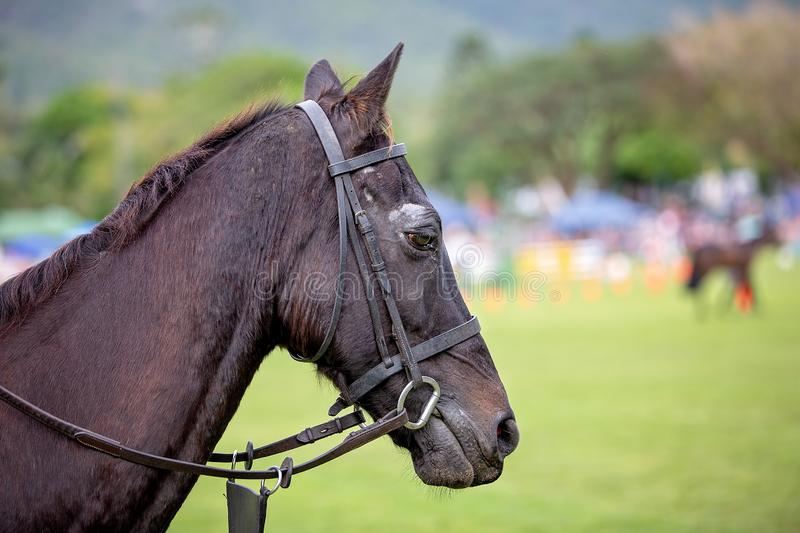 Show Jumping Horse In Close Up. Close up of a beautiful black horse standing on a fairground waiting for its turn to compete in a show jumping event royalty free stock images