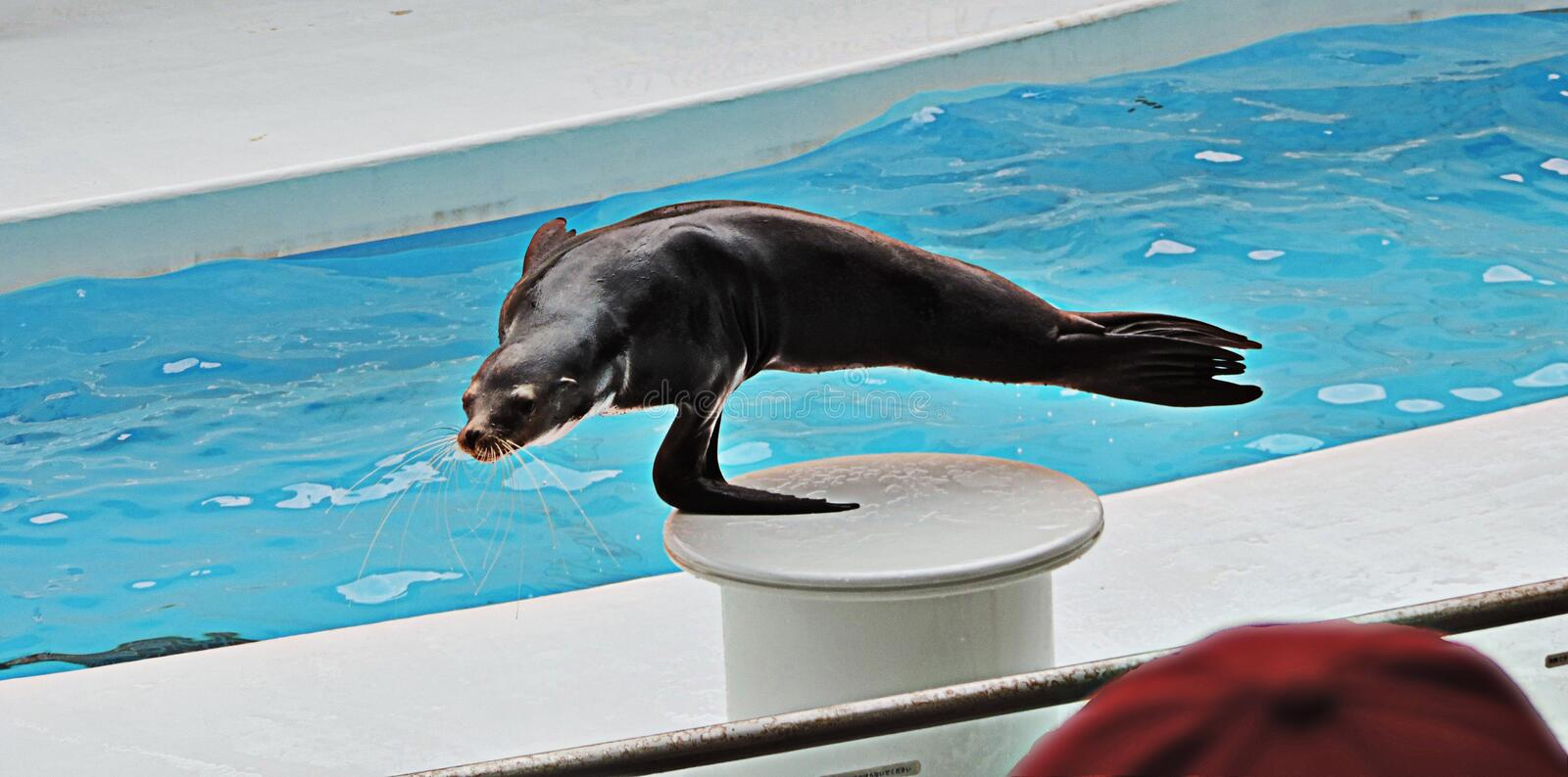 Show of Sea lion. Show of Sea lion in Japan royalty free stock photo