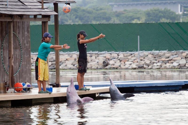 show singapore för sentosa för delfinöpink royaltyfria bilder
