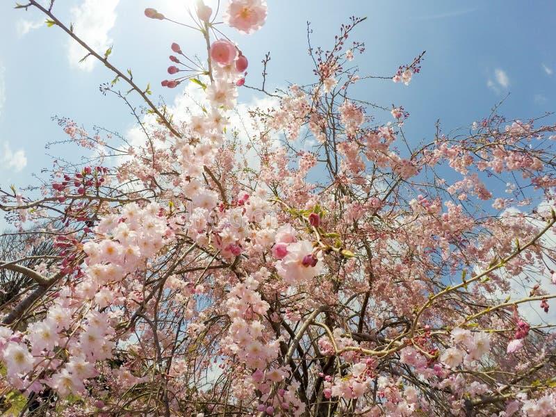 Weeping cherry blossoms at Showa Kinen KoenShowa Memorial Park,Tachikawa,Tokyo,Japan in spring. Showa Memorial ParkShowa Kinen Koen is a park in the city of royalty free stock photos