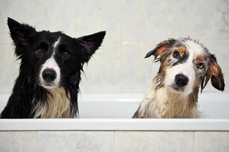 Shower dogs. Two dogs after taking a shower