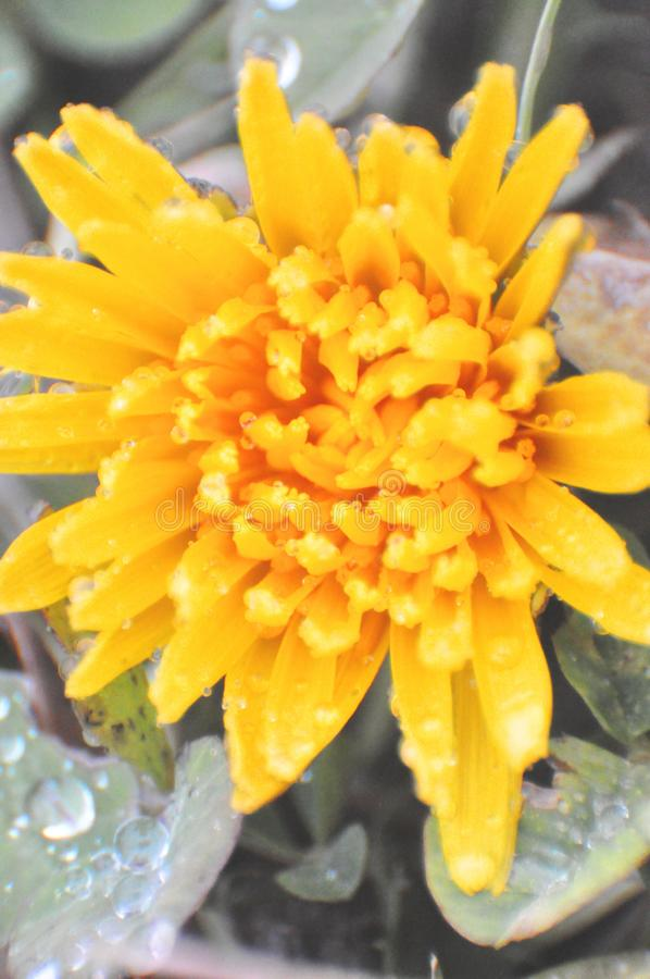 The showering golden flower after a heavy rain. Is taken together with small water beads royalty free stock images