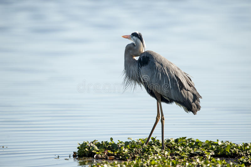 Showing off its topknot. Plumage on Great Blue Heron (Ardea herodias royalty free stock photography