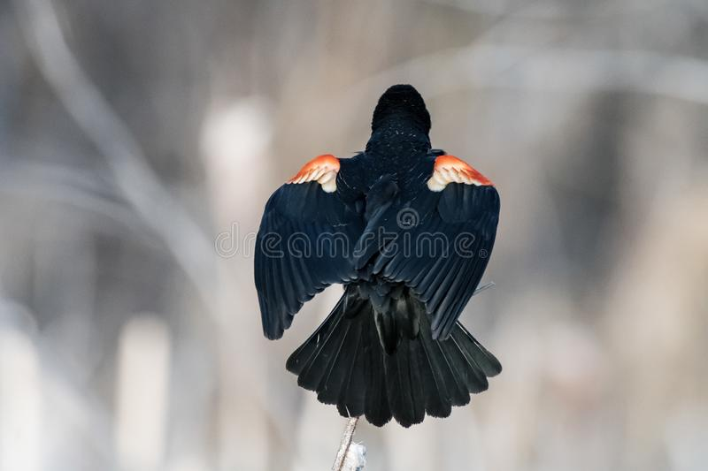 Showing off the plumage looking for a mate. A red winged blackbird calling out foe a mate , springtime in the wetlands ,Alberta , Canada stock photography