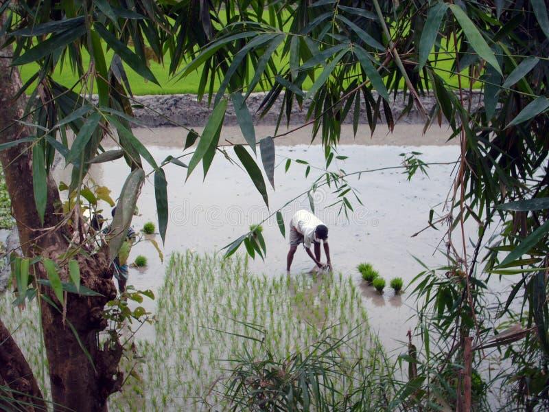 Showing paddy saplings royalty free stock image