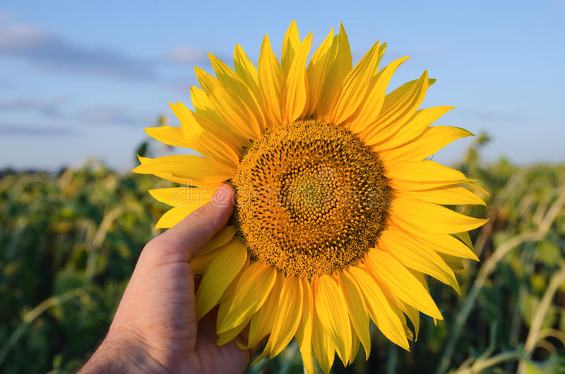 Download Showing Sunflower Stock Images - Image: 20937454