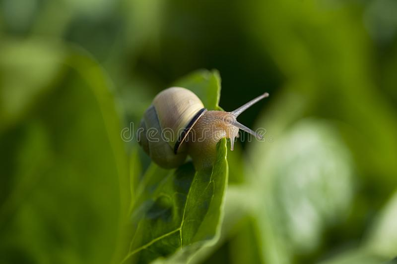 Crawling snail on leaf, stock images