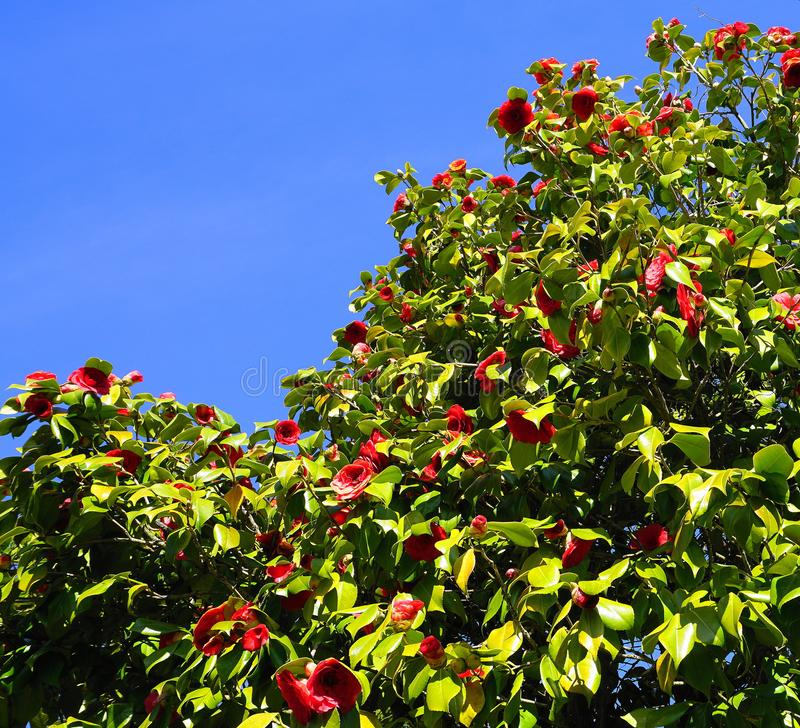 Showy and beautiful red camellia - Camellia japonica tree in bloom. stock photo