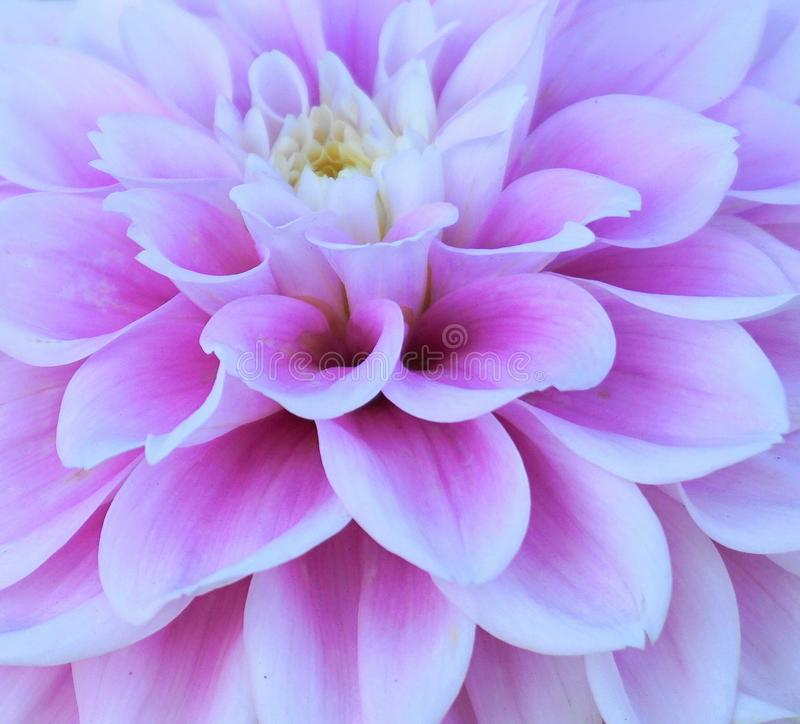 Showy and bright Dahlia flower close royalty-vrije stock afbeelding