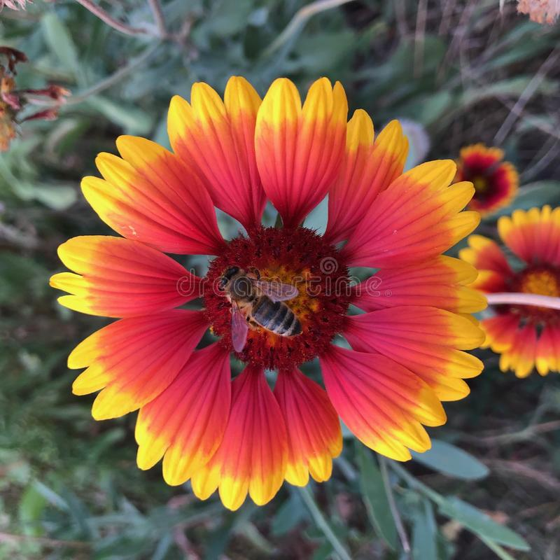 Showy and bright Gaillardia pulchella flower with bee stock image