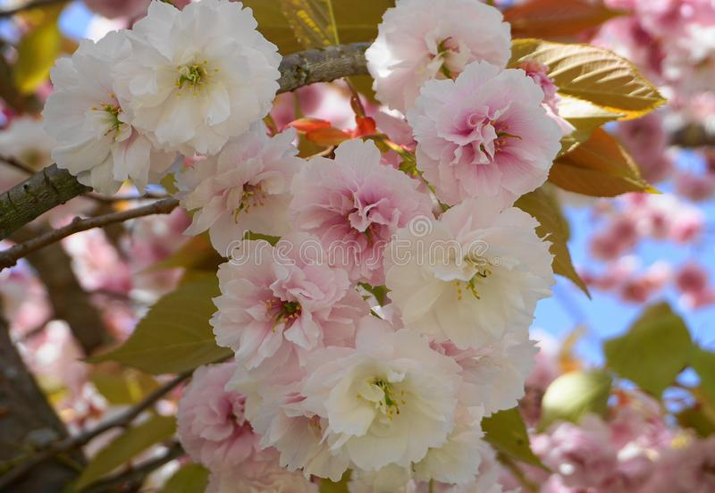 Showy and bright Prunus Kanzan Japanese Flowering Cherry double layer flowers against blue sky background. Sakura blossom. royalty free stock photo