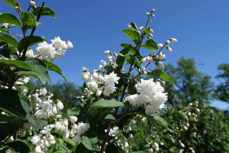Showy white flowers of Deutzia against blue sky stock photo