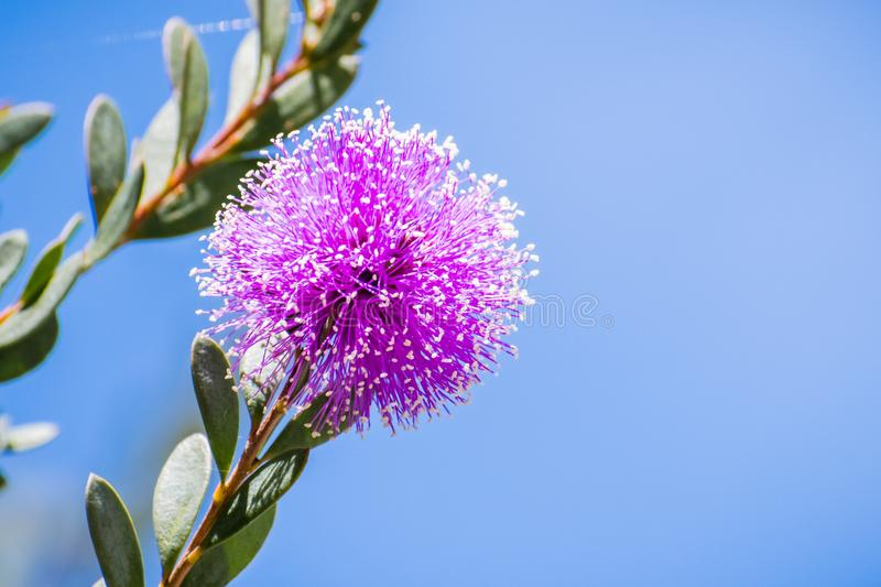 Showy honey-myrtle Melaleuca nesophila flower. Close up of Showy honey-myrtle Melaleuca nesophila flowers which are native to Australia, blooming in south San stock images