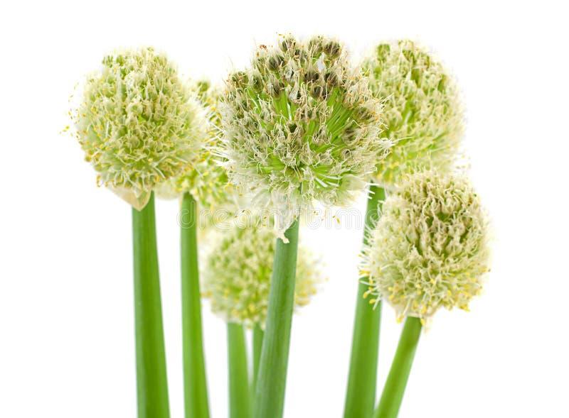 Shpere лука цветения на белизне стоковое изображение rf